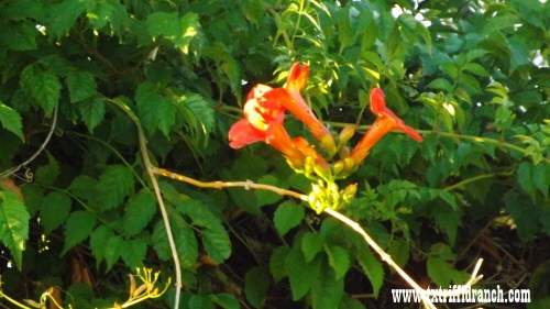 Scarlet Trumpetvine
