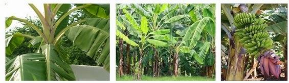 Banana plant or plantain plant