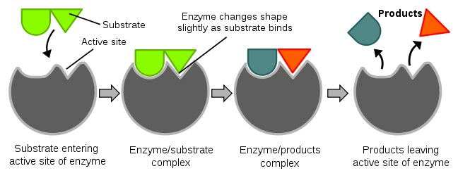 Diagrams to show the induced fit hypothesis of enzyme