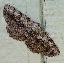 I believe this is a lunate zale moth.