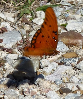 I love the shadow under this Gulf fritillary.