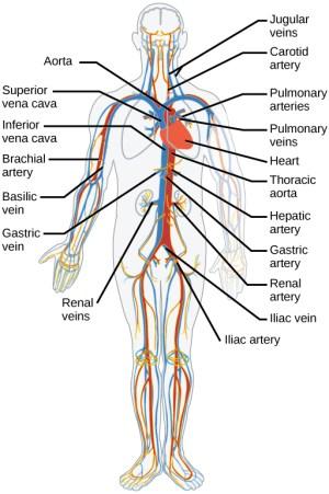 Mammalian Heart and Blood Vessels | Boundless Biology