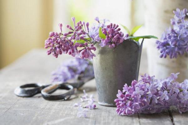 Как сохранить сирень в вазе? Секреты флористов и опытных цветоводов