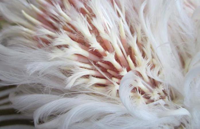Почему выпадают перья у кур-несушек?