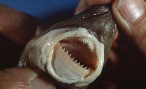 Бразильская светящаяся акула: фото, описание, размеры, размножение