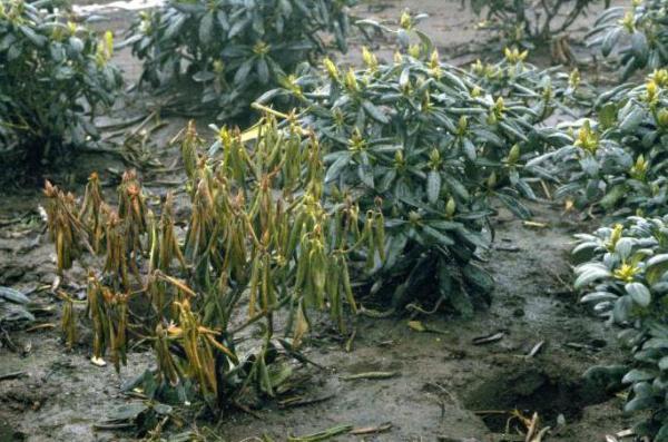 Как вылечить землю от фитофторы осенью после картофеля?