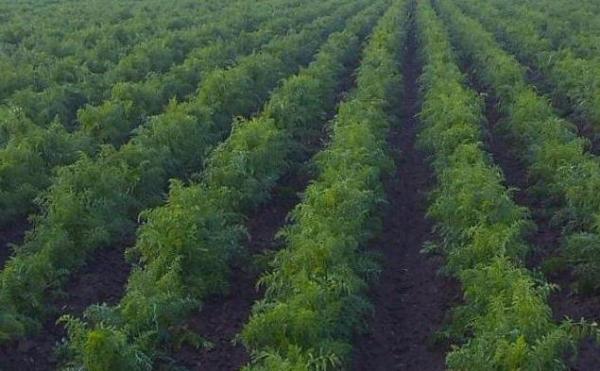Морковь Ред Кор: описание, выращивание, отзывы