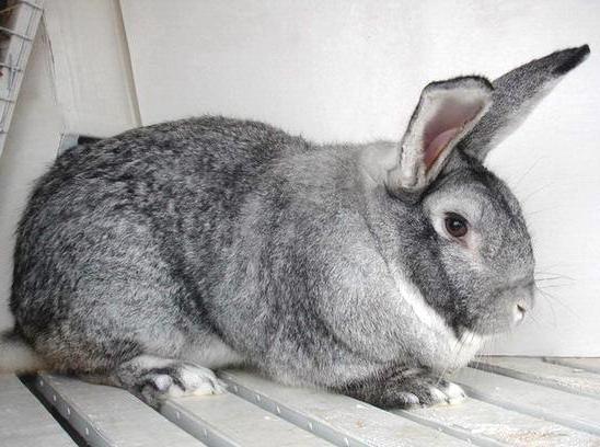 Породы кроликов с фотографиями и названиями. Кролики-великаны. Мясные породы кроликов