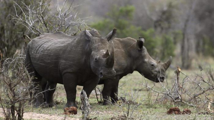 В Южной Африке на онлайн-аукционе начали легально продавать рога носорогов