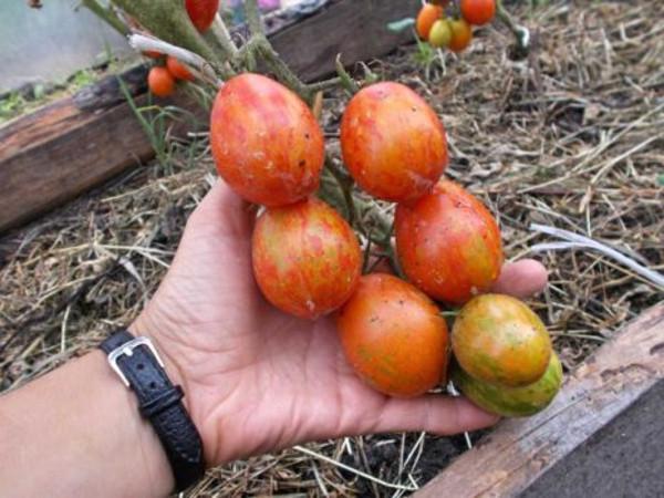 Как созревают томаты