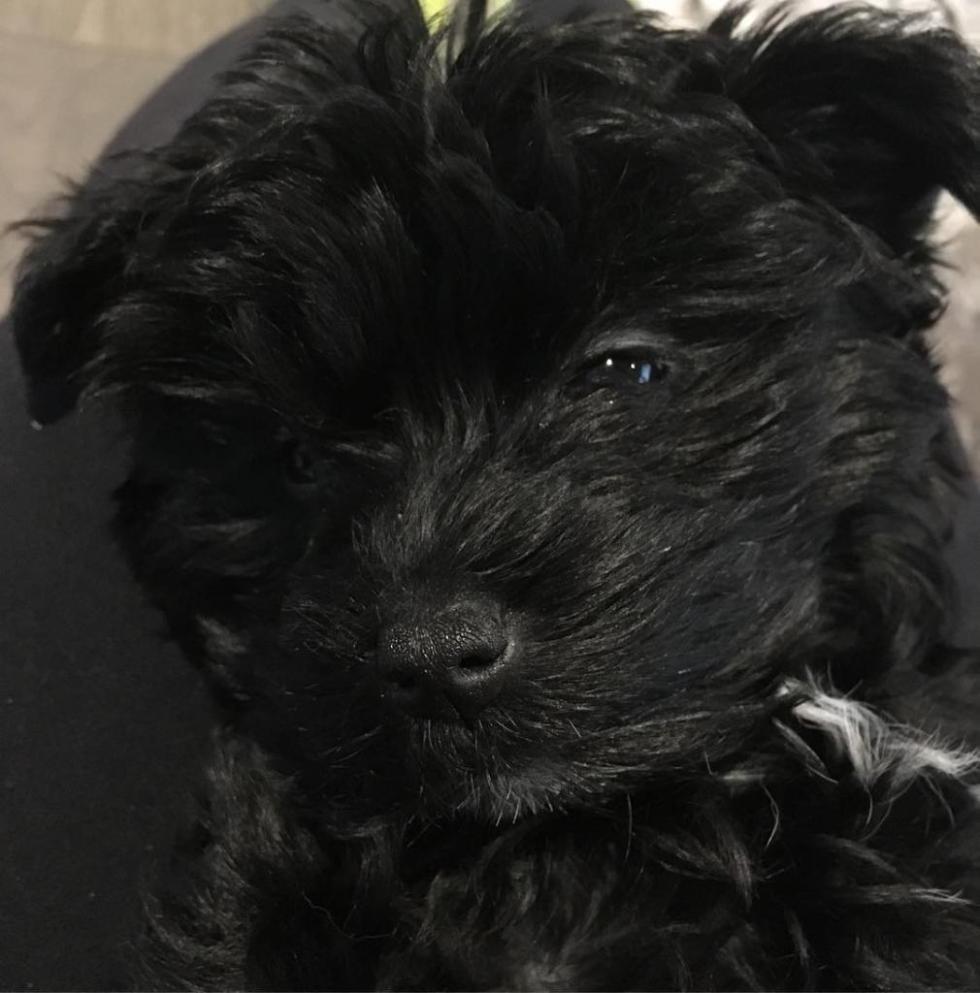 Черный щенок йорка