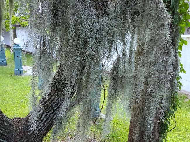 Дерево с мхом