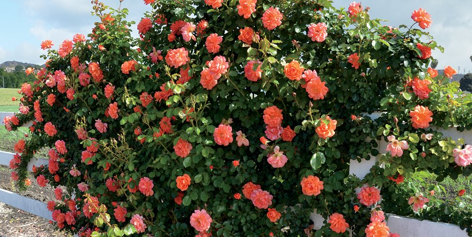 бенгальская роза, уход