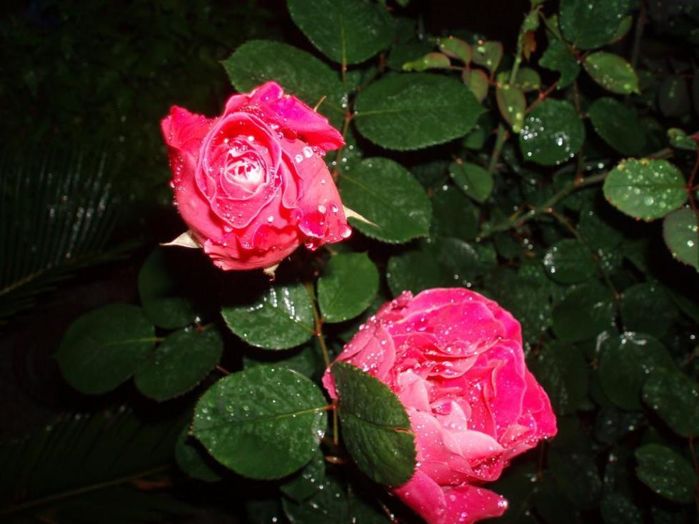 бенгальская роза комнатная виды фото