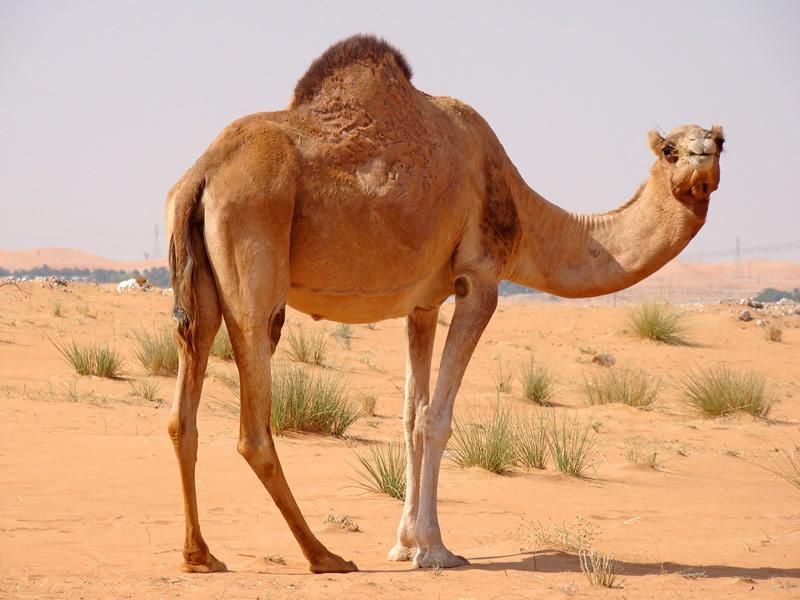зачем верблюду нужен горб