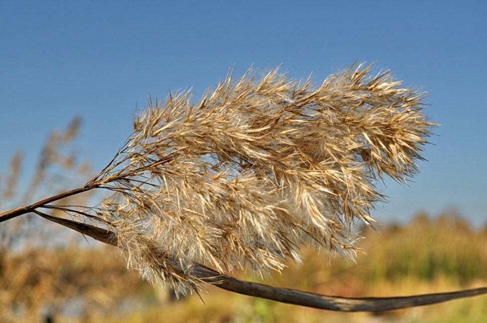 пушистое соцветие камыша осенью