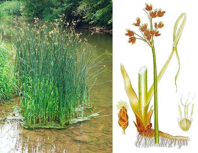 растение в природе и на рисунке