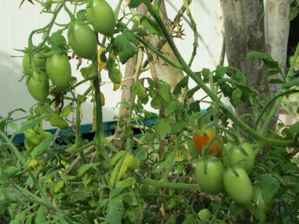 Кусты желтого томата