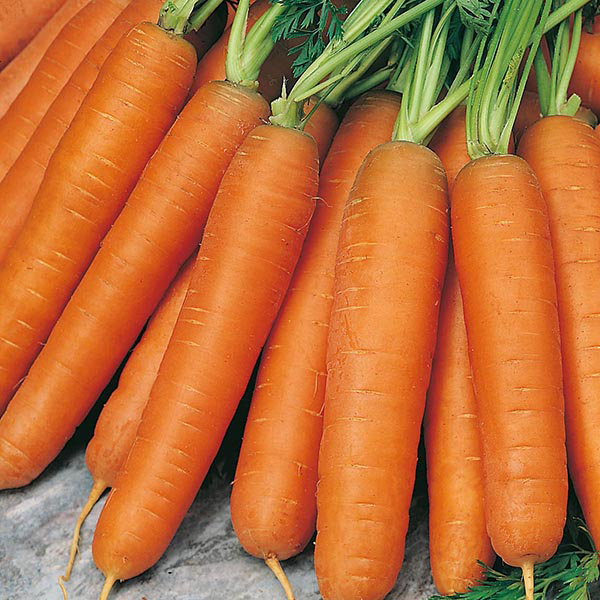 "морковь сорт ""каротель"""
