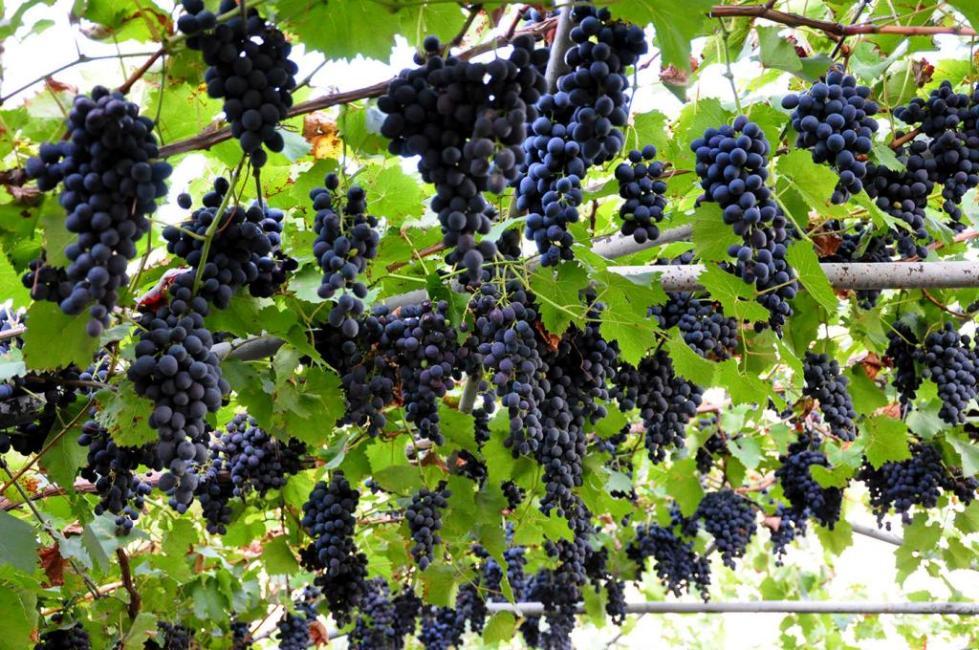 Виноград Голубок на шпалере