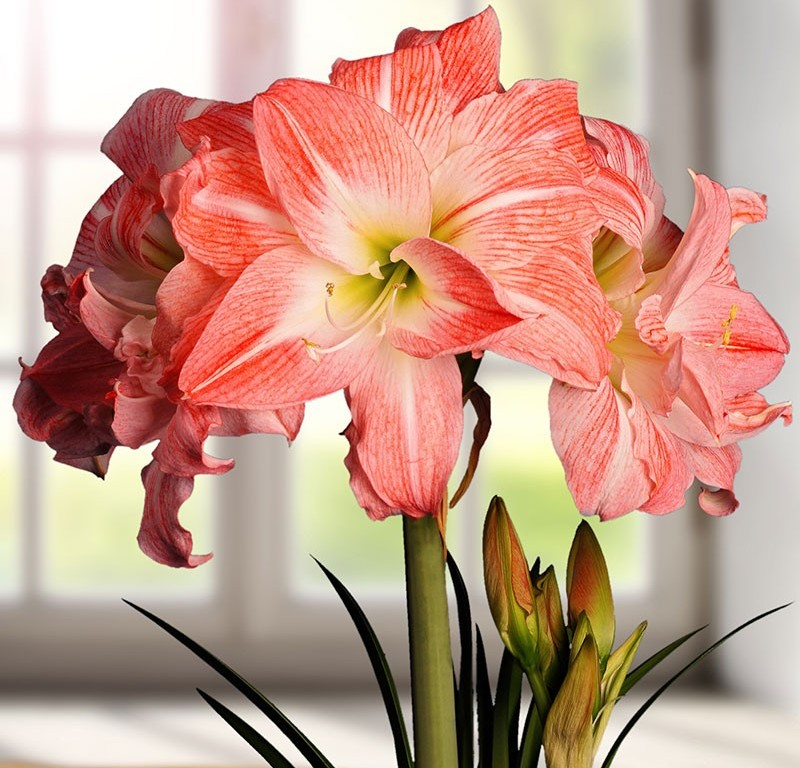 Гиппеаструм в комнатном цветоводстве