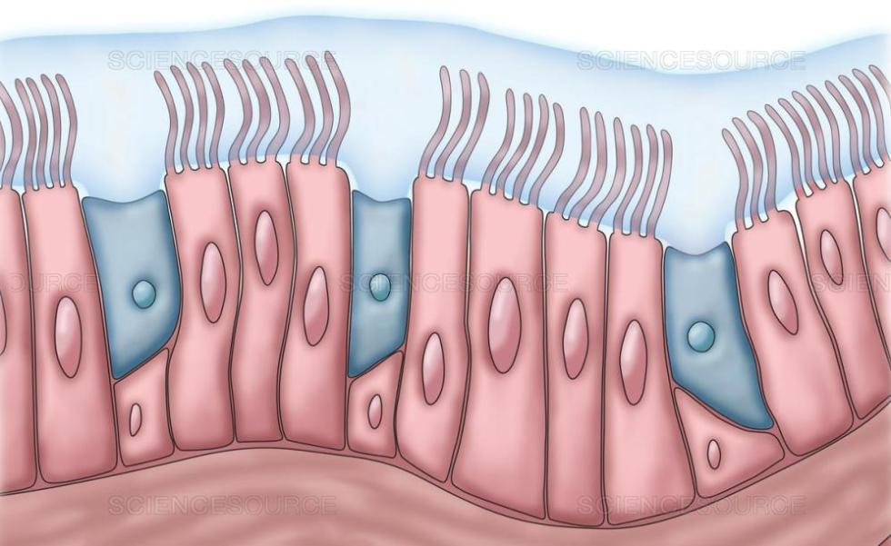 Реснички слизистой оболочки