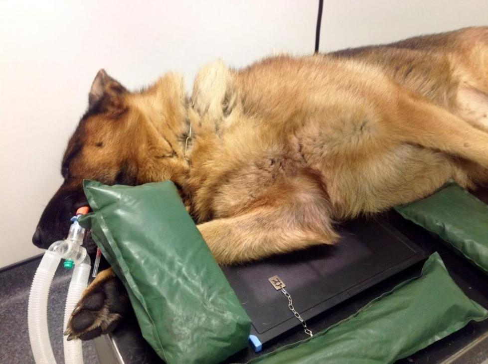 симптомы дисплазии локтевого сустава у собак