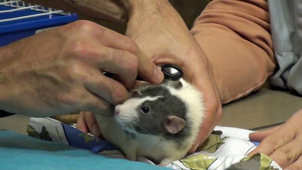 крыса у ветеринара