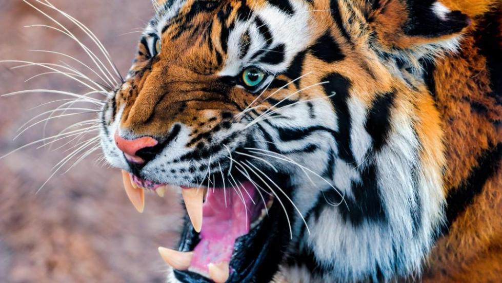 Скалящийся тигр