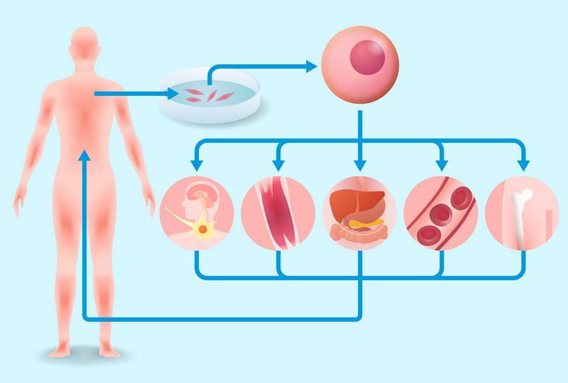 регенеративная медицина стволовыми клетками
