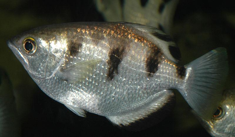 Внешний вид рыбы-брызгуна