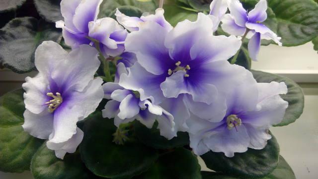 цветение Хумако Инч
