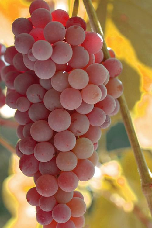 Описание винограда Рилайнс Пинк Сидлис