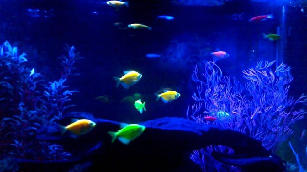 Светящиеся аквариумные рыбы