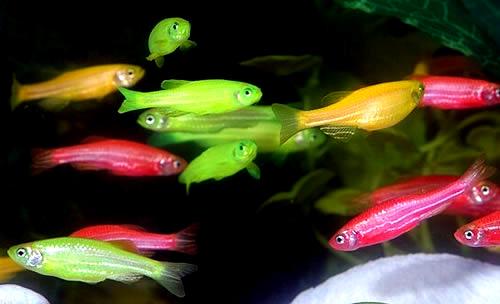 Разноцветные данио GloFish