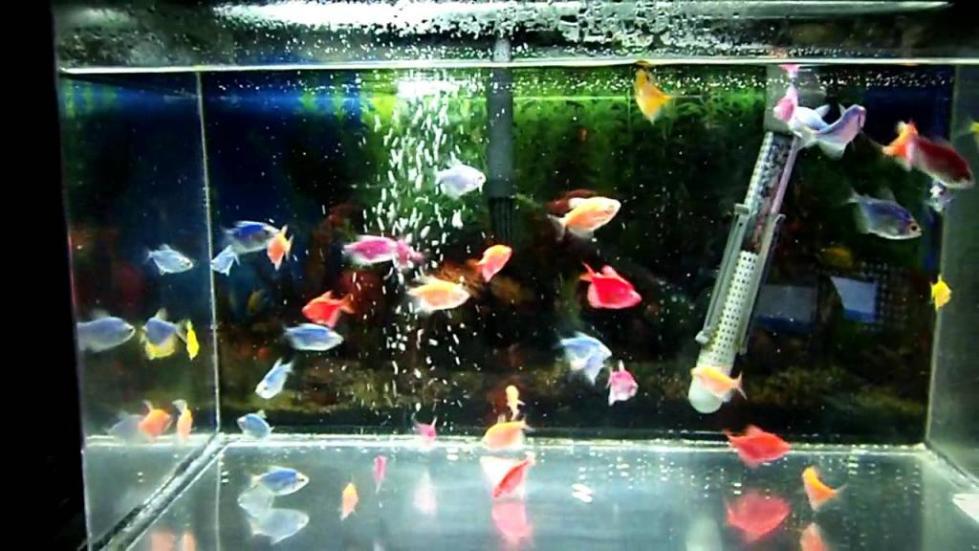 Аквариум с рыбками GloFish