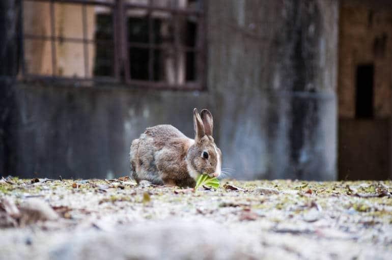 Онукосима - японский остров с кроликами