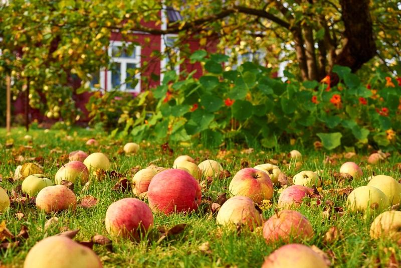 Яблоки опавшие с ветвей