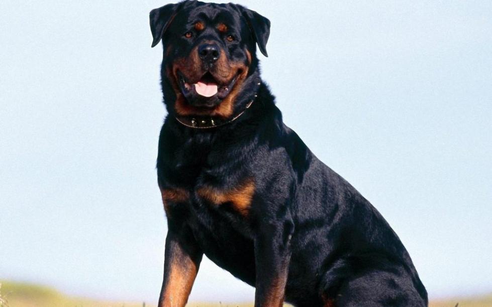 Гордый пес