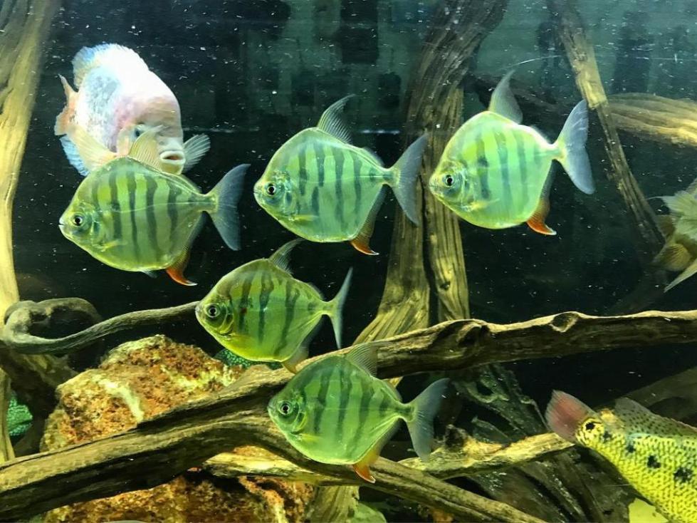 Метиннис в аквариуме