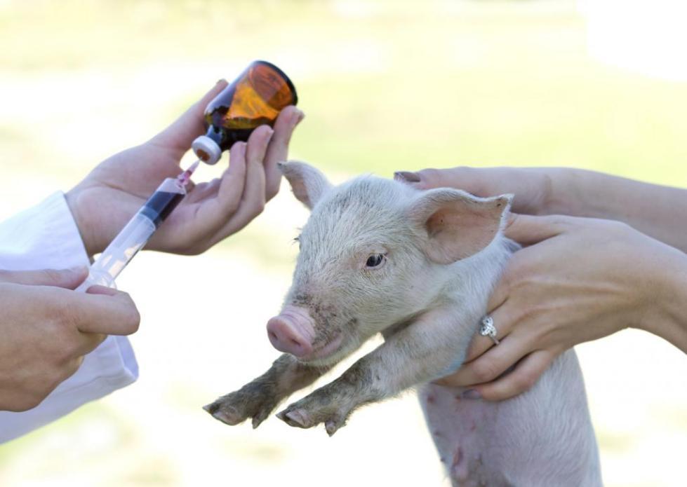 лечение свиньи