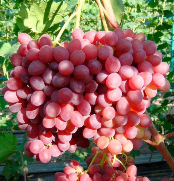 Большая гроздь винограда.