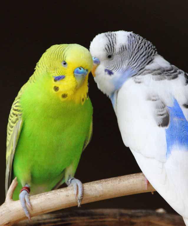 Размер клетки для попугая