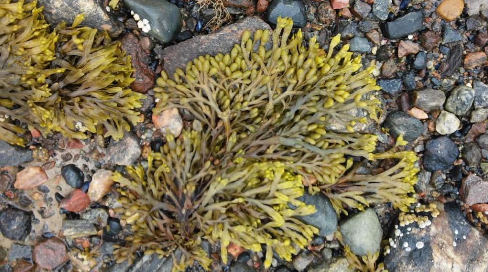 Морские водоросли фукус