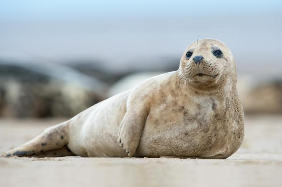 Обычный тюлень