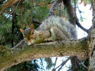 Eichhörnchen auf Ast in Montréal