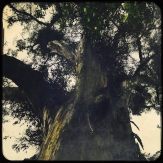 Eukalyptusbaum Alameda Santiago de Compostela