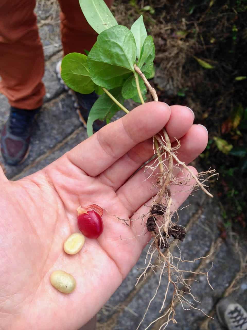 Kaffeepflanzen und Frucht (Bild: M. Schäfer, Textrakt)