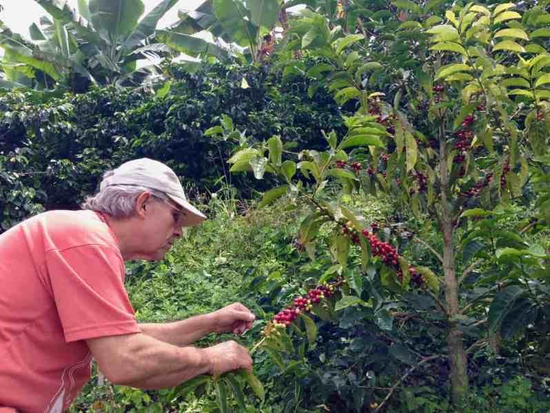 An den Kaffeestauden sind immer mehrere Stadien der Frucht erkennbar: Blüten und verschiedene Reifegrade (Bild: M. Schäfer, Textrakt)