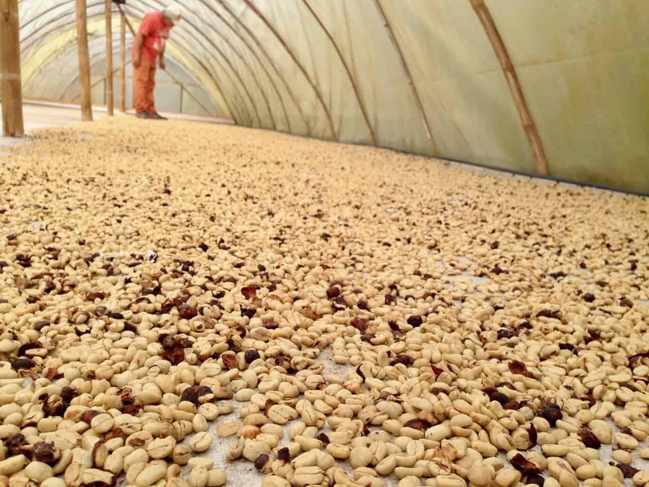 Der Kaffee wird mit Sonnenwärme getrocknet (Bild: M. Schäfer, Textrakt)